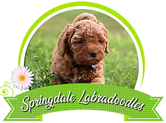 Labradoodle Puppies For Sale Greensboro North Carolina