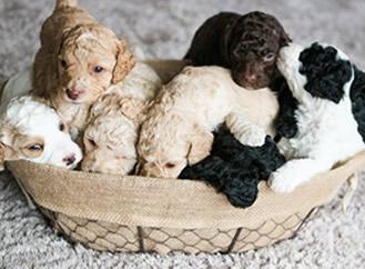 Labradoodle Puppies For Sale Greensboro North Carolina